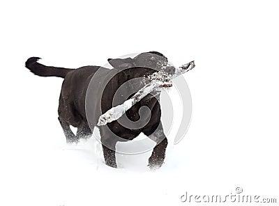 Czekoladowy labradora aporter