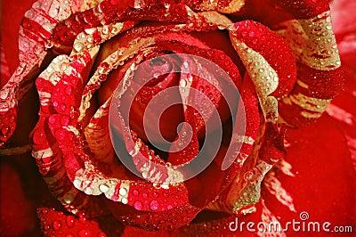 Czerwieni róży biel