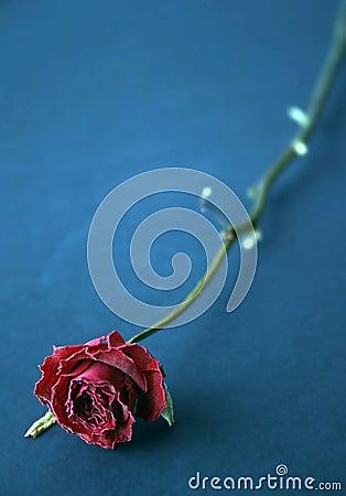 Czerwona róża niebieska suszone