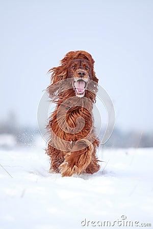 Czerwony irlandzkiego legartu pies