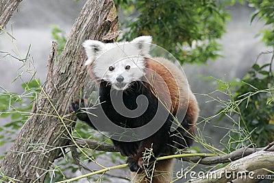Czerwony pandy