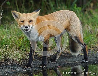Czerwony TARGET1070_0_ Fox