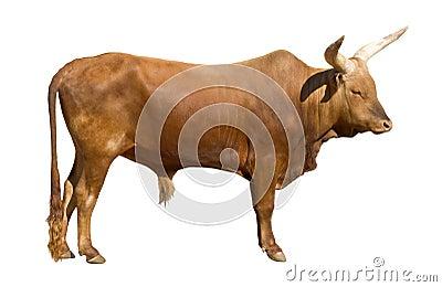 Découpage de taureau de Watusi