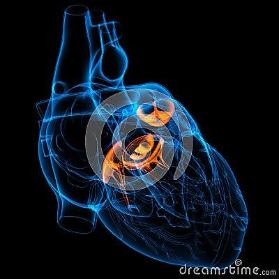 3d回报心脏瓣膜-正面图.