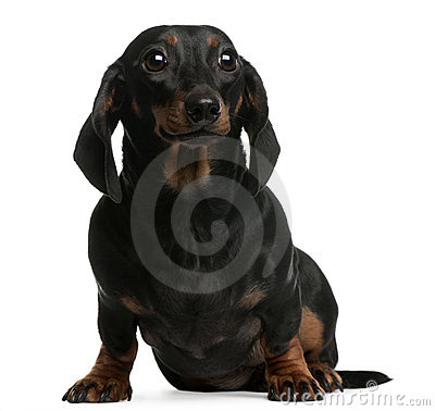 Dachshund, 1 year old, sitting in front of white