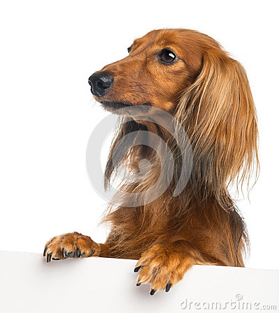 Dachshund, 4 years old, leaning on a white plank