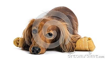 Dachshund, 4 years old, lying on bone