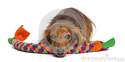 Dachshund, 4 years old, lying on dog toy