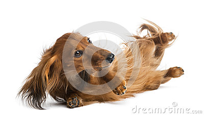Dachshund, 4 years old, rolling over