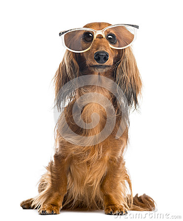 Dachshund, 4 years old, sitting, wearing glasses