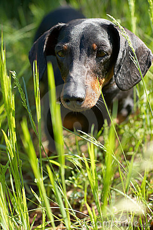 Free Dachshund Stock Images - 9343704