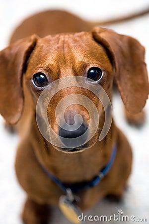 беспокойство взгляда dachshund