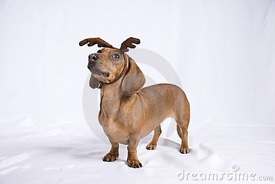 A Dachshund breed dog