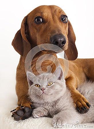 Free Dachshund Dog And Kitten Royalty Free Stock Photo - 18435605