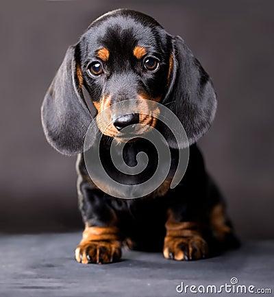 Free Dachshund Dog Black-tan Stock Photos - 118399983