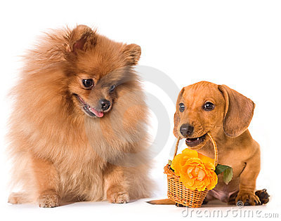 Dachshund dog and flowers and fluffy red spitz