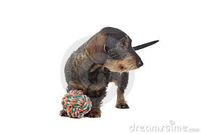 Dachshund dog with toy