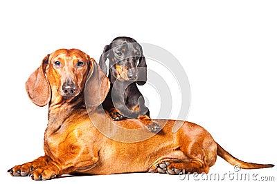 Dachshund Dogs posing on isolated white background