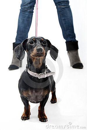 Dachshund on a leash