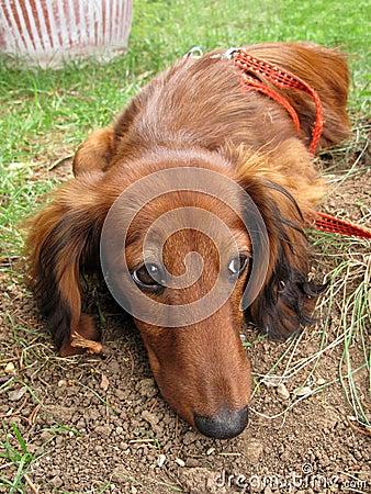 Dachshund long-haired dog