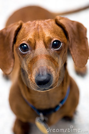 Dachshund look of worry