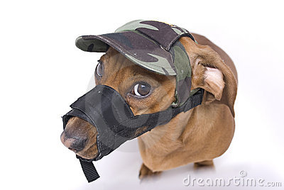 Dachshund in muzzle and peaked cap is angry