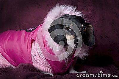 Dachshund in Pink Coat