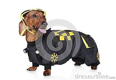 Dachshund portrait wearing hoodie