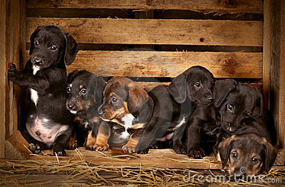 Dachshund puppies 3 weeks old