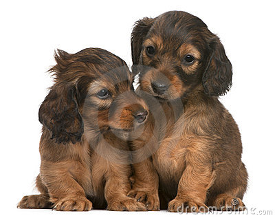 Dachshund puppies, 5 weeks old, sitting