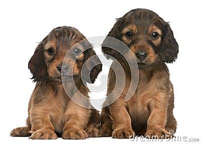 Dachshund puppies, 5 weeks old, sitting