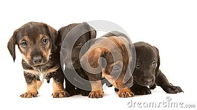 Dachshund puppies embracin