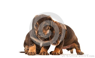 Dachshund puppies embracing -