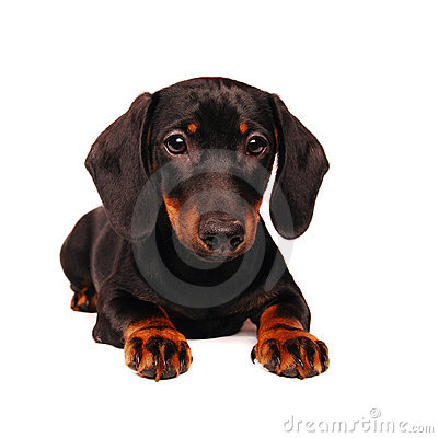Free Dachshund Puppy Royalty Free Stock Photo - 12456635