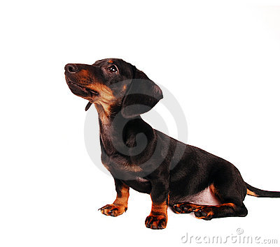 Dachshund Puppy Royalty Free Stock Images - Image: 12456639