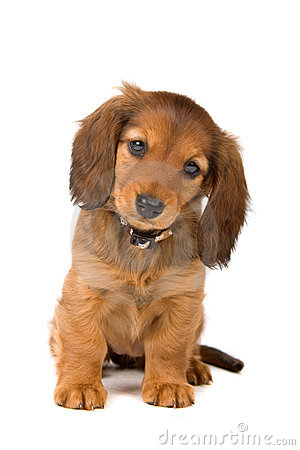 Free Dachshund Puppy Royalty Free Stock Image - 15741646