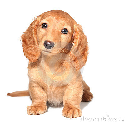 Free Dachshund Puppy Royalty Free Stock Image - 3644906