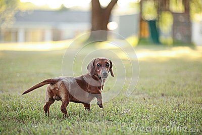 Dachshund puppy backyard