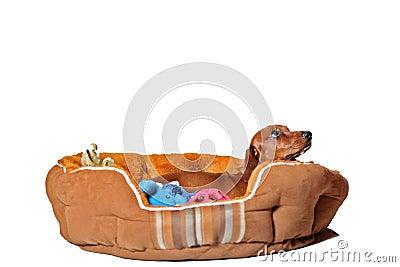 Dachshund puppy in bed