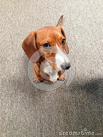 Dachshund puppy face