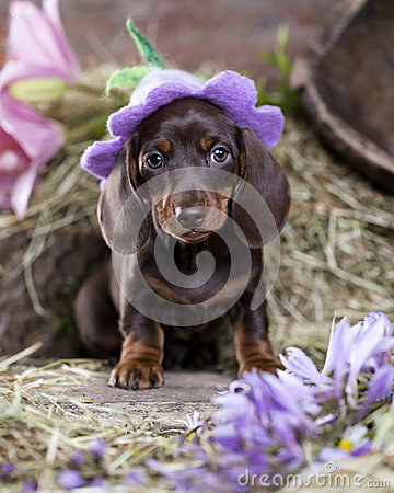 Free Dachshund Puppy In Hat Royalty Free Stock Photo - 96744825