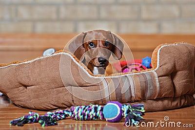 Dachshund puppy lounging