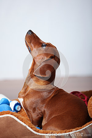 Dachshund puppy profile