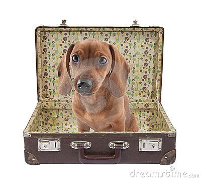 Free Dachshund Puppy Sits In A Vintage Suitcase Stock Image - 23500061