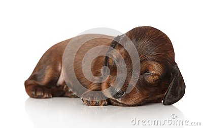 Dachshund puppy sleep on white background
