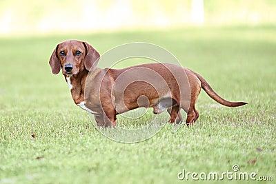 Dachshund puppy standing