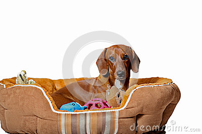 Dachshund puppy with toys