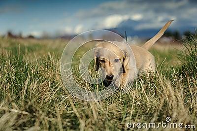 Dachshund puppy walks in the long grass