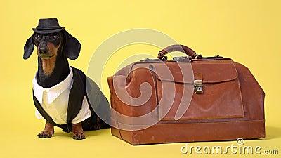 Dachshund Rasse Hund, schwarz und braun, Tierarzt in Cowboy steht auf Vintage Koffer, isoliert auf weißem Hintergrund auf einem g stock footage