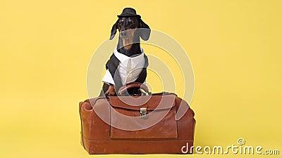 Dachshund-Rasse, schwarz und braun, in Touristenkostüme gekleidet, trägt einen Hut und ein Hemd, steht auf Vintage-Koffer, Bellen stock footage